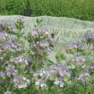 phacelia_2_small