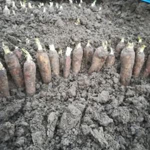 het inkuilen van een lading witloofpennen voor  witloof in  maart