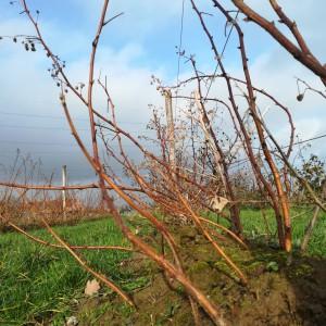 de herfstframbozen voor de wintersnoei