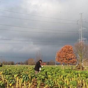 boerenkool plukken