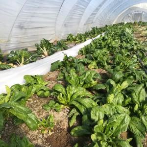 spinazie gepland in oktober, bijgegroeid in maart