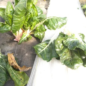 warmoesplant na het plukken, voor: verouderde bladeren, rechts: oogst