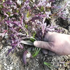 bladmosterd voor in n slaatje: afsnijden 3cm boven de grond