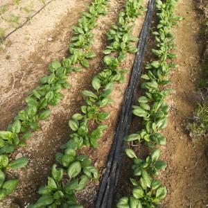 spinazie om grootbladig te snijden