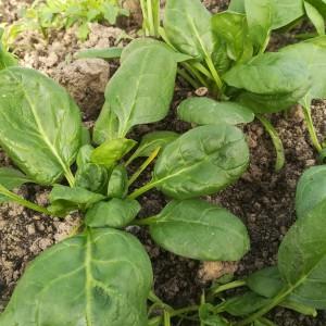 jonge spinazie voor de pluk