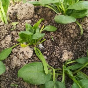 jonge spinazie na de pluk, klaar voor hergroei