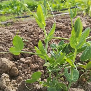 de eerste erwtenplant rankt