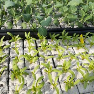 zaailingen gele biet en broccoli, wachtend op droog weer voor grondbewerking