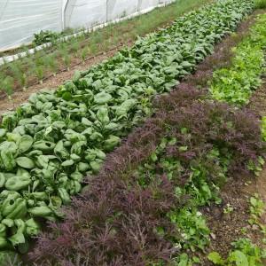 pijpajuin-babyvenkel-spinazie (te oogst)-bladmosterd- en landkers-babyblaadjes