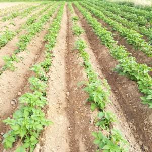 aardappel na aanaarden, 30 mei