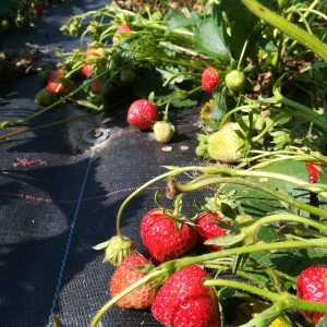 aardbeien vollegrond 30mei