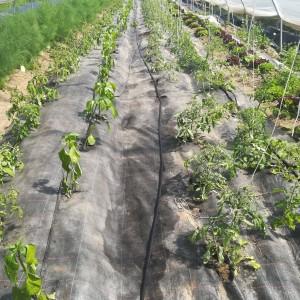 tomatentunnel op 8 mei