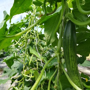 komkommers bij de vleet