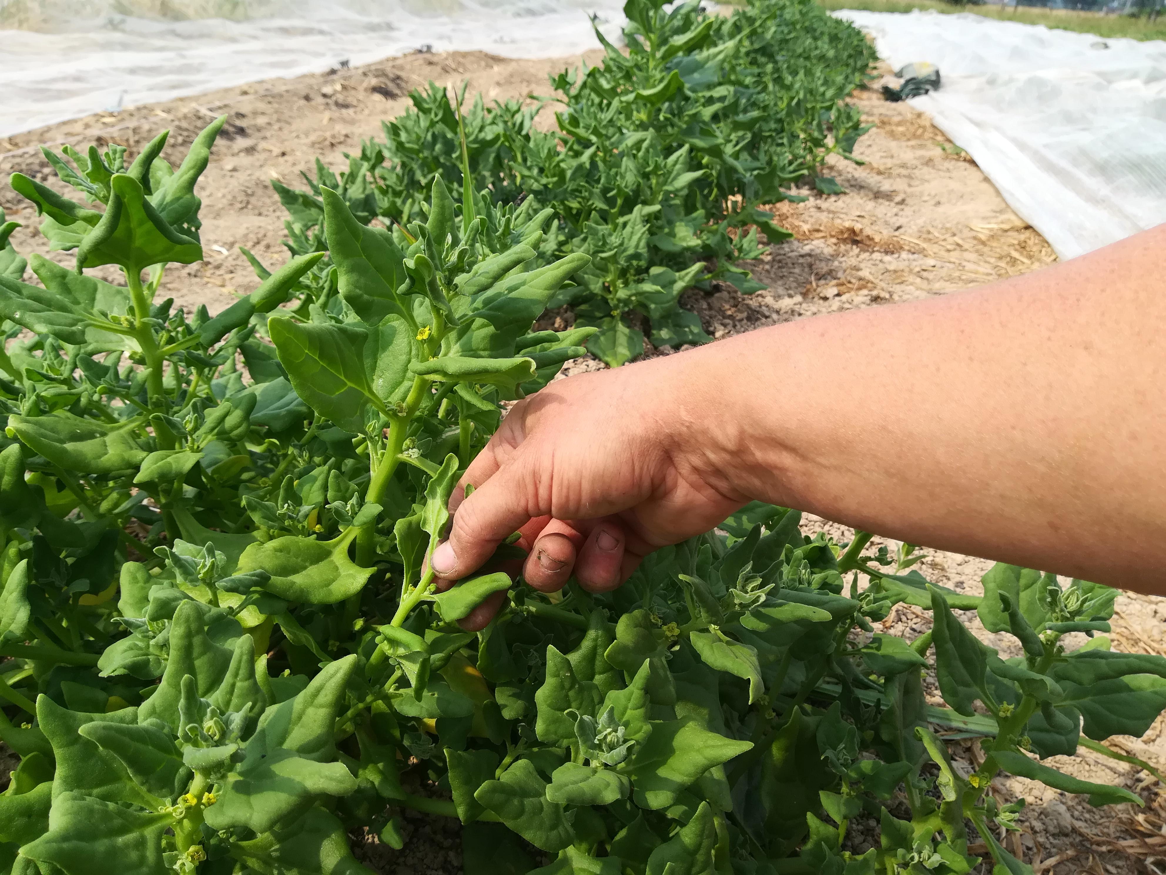 nz-spinazie: topjes oogsten