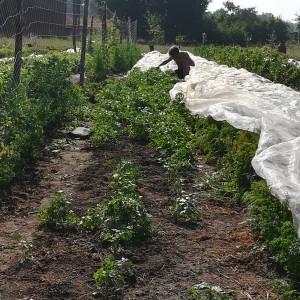 slecht gekiemde wortelpeterselie wieden na regenbuitje