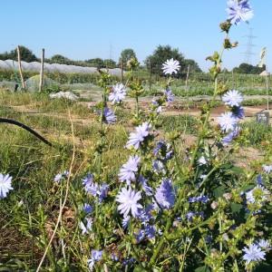 achteloos opzijgesmeten witloofwortels uit jaar 1 geven bloemen in jaar 2