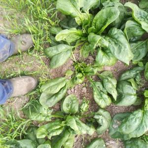 Hoe het NIET moet: volgroeide bladeren laten zitten en enkel onvolgroeide bladeren afsnijden...