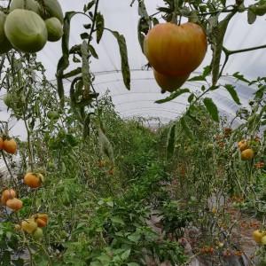 de tomaatjes kleuren nog mooi rood in september!