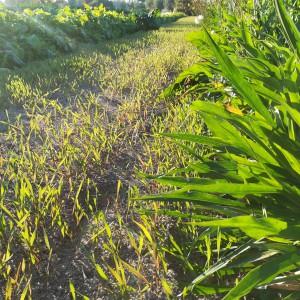 de winterrogge die tijdens de winter zal vermijden dat de meststoffen uitspoelen en met koolstof uit de lucht er organisch materiaal mee zal vormen