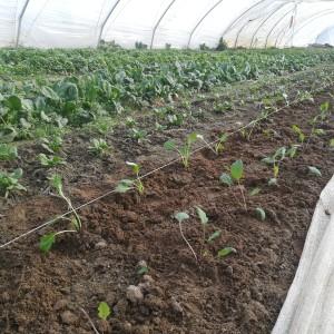 jonge spinazie en koolrabi voor oogst april-mei, hier nog onder kap.