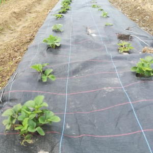 Aardbei vollegrond Nieuwe Aanplant, voor oogst in juli-aug