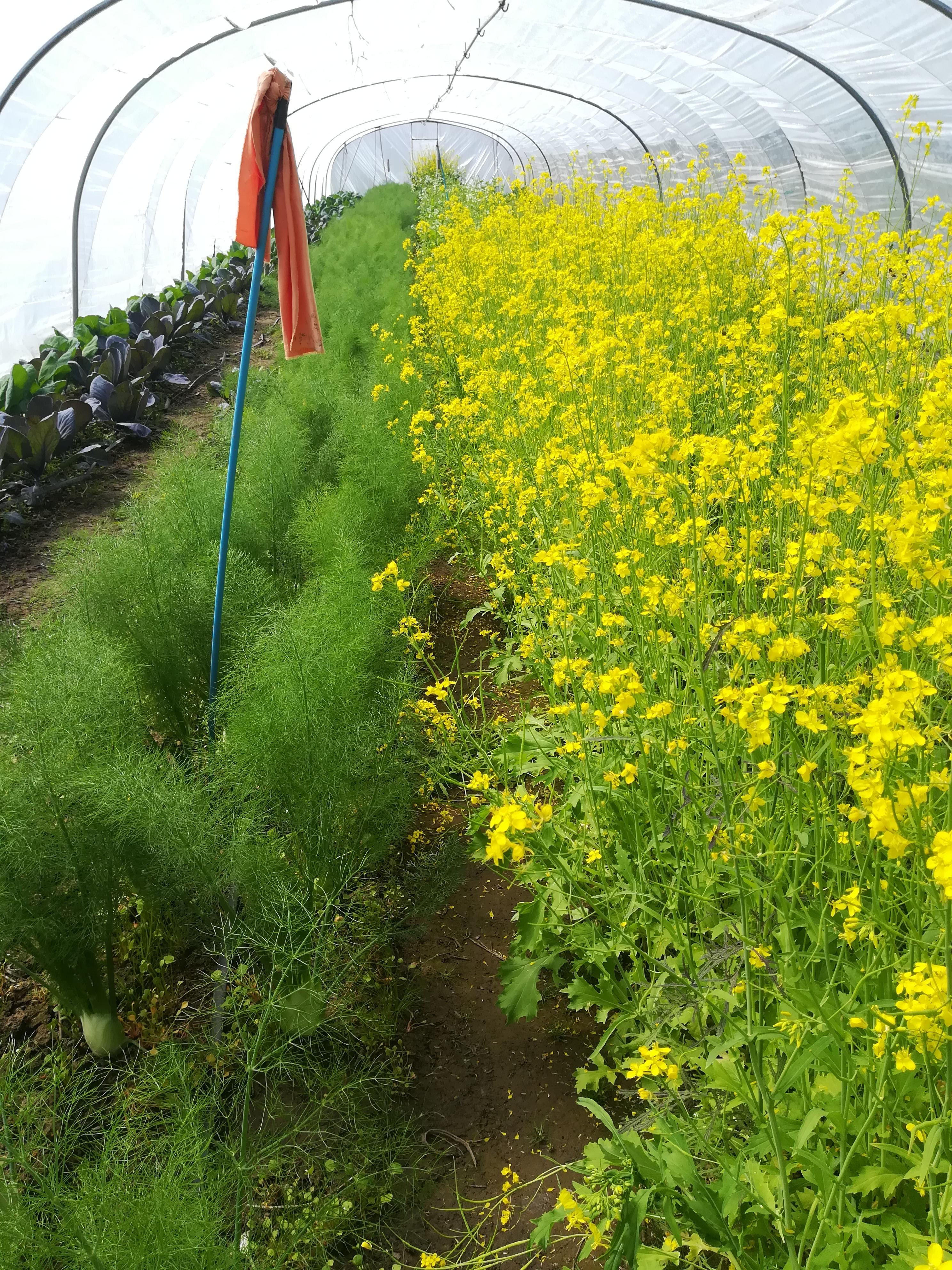 oogstvlag op 1 mei in de venkel uit tunnel, en raapsteel in bloei, om de bijtjes te plezieren