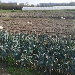 groenbemester en winteronkruid kapotgefreest dankzij de droogte in april ...