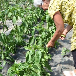 basilicum oogsten