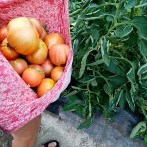 tomaten bij de vleet tijdens de tweede hittegolf