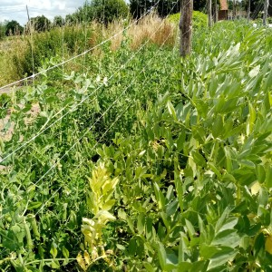 erwtjes links, tuinboon rechts van de draad. We staan hier dicht bij de maisakker