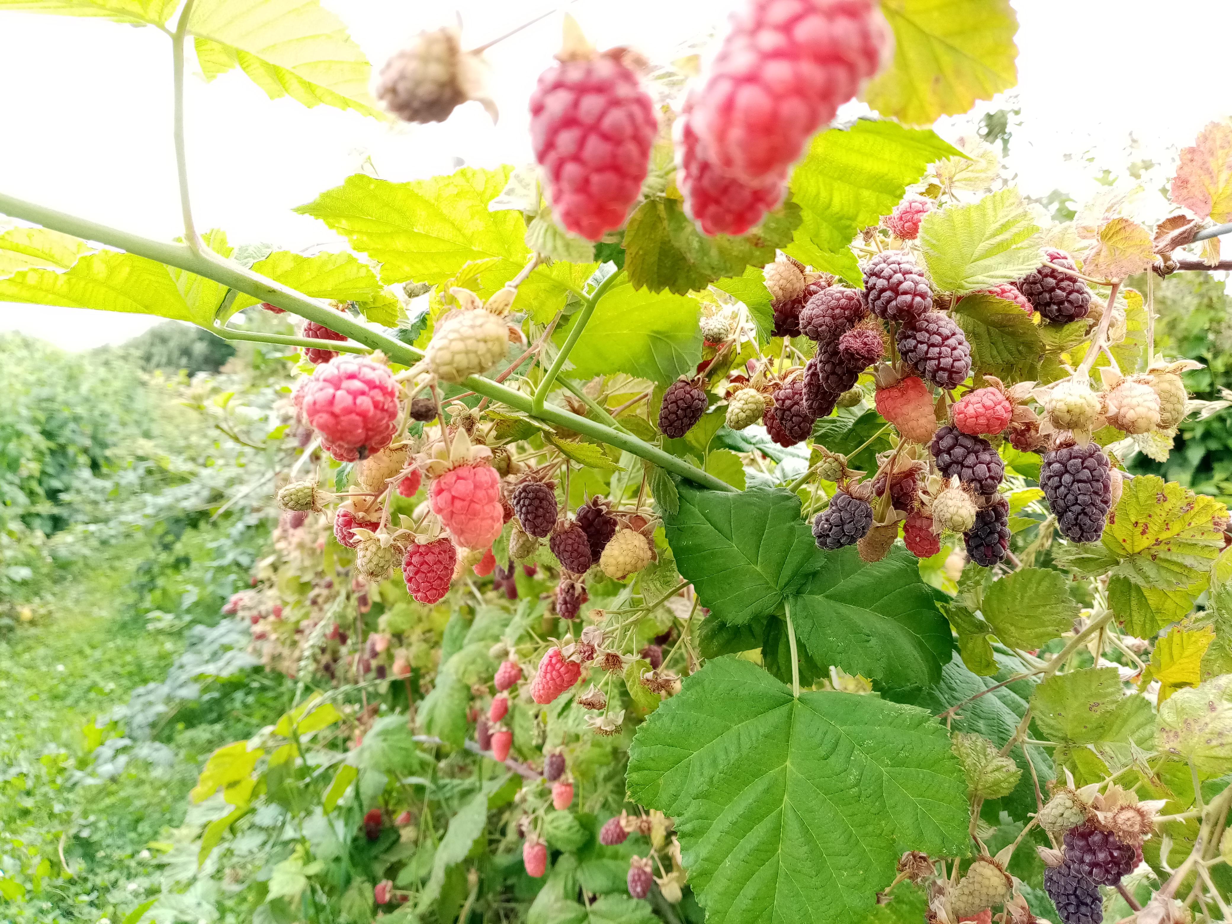 tayberries, een kruising tussen bramen en frambozen, afkomstig uit Schotland, bij de rivier Tay