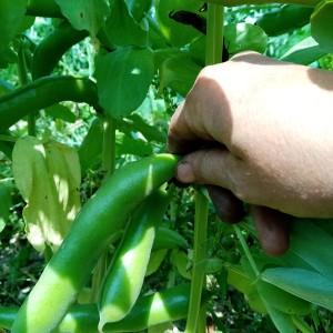 neerhangende tuinboon-peulen zijn klaar voor pluk