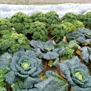 nieuwe reeks savooiekool, erachter boerenkool, gevolgd door winterprei (deze laatste nog niet te oogst)