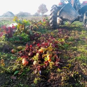 een mooie dag in januari: laatste ton bietjes worden gerooid van het veld