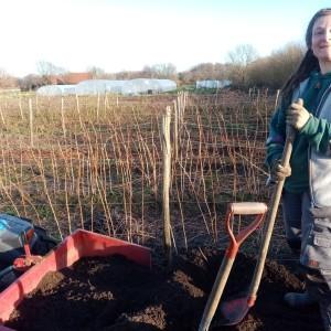 januari: Patricia de nieuwe tuinhulp, viegt erin: mulchen van de frambozen-ruggen met compost