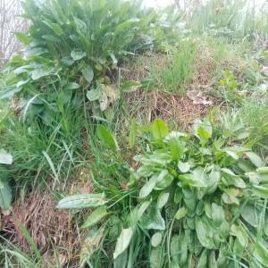 De eerste oogst uit vollegrond: wilde kruiden: veldzuring, op de berg aarde, als sla.