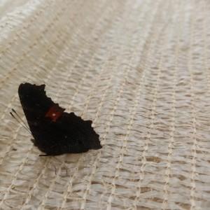 het was een zachte winter... een vlinder in de doeken