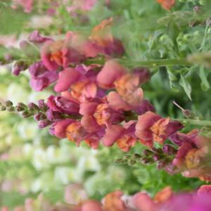 fotoshoot_bloemenveld_leeuwenbekje_roze_closeup