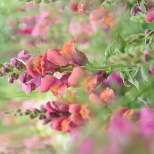 fotoshoot_bloemenveld_leeuwenbekje_roze_closeup_2