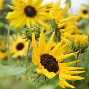 fotoshoot_bloemenveld_zonnebloemkleinpuntig