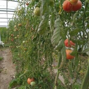 tomaat na herfstige hittegolf