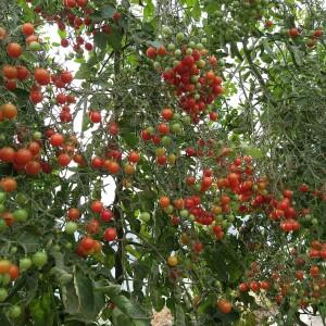 tomaatjes eind september na hittegolf)
