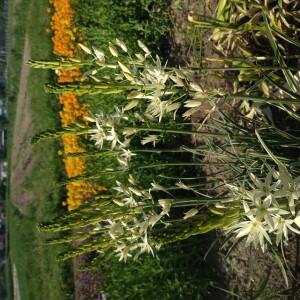 bloemen juni Camassia
