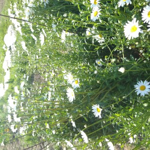 bloemen juni margriet