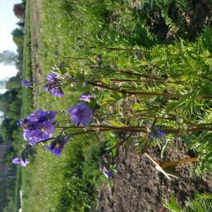 bloemen juni jacobsladder